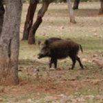 Unidas por Collado Villalba pide que se elimine la caza con arco del contrato de control de jabalíes