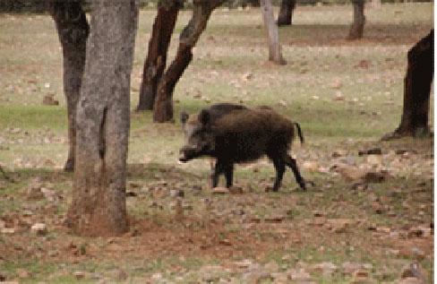 Majadahonda incorpora perros pastores adiestrados para ahuyentar a los jabalíes