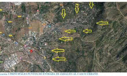 El número de jabalíes en Collado Villalba se reduce drásticamente
