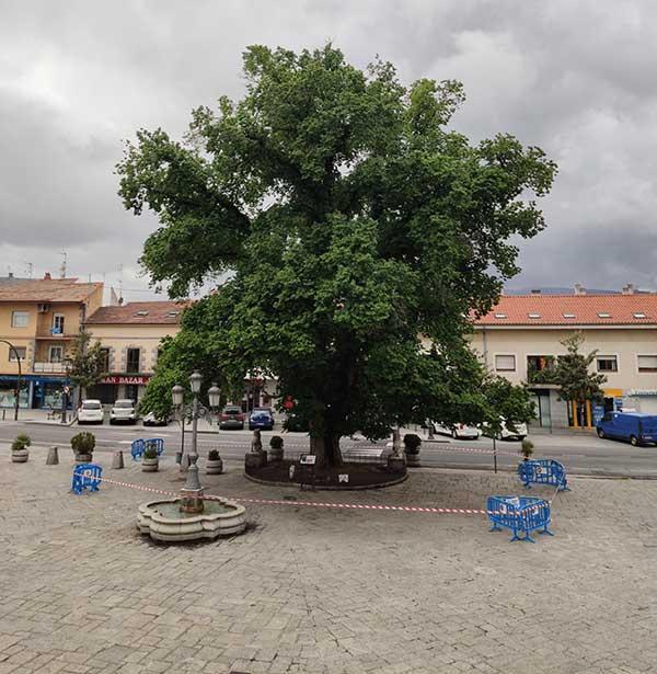 Técnicos de medio ambiente inspeccionarán la salud de la olma de Guadarrama