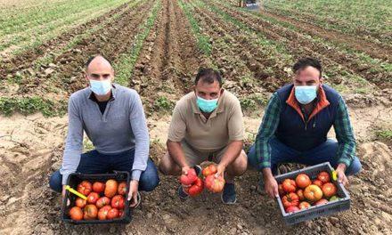 Alcampo comercializa tres variedades de tomate madrileño recuperadas por el iMiDRA
