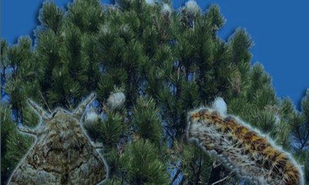 Torrelodones inicia la campaña para el control de la procesionaria del pino