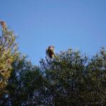 Las Rozas inicia la campaña contra la procesionaria del pino